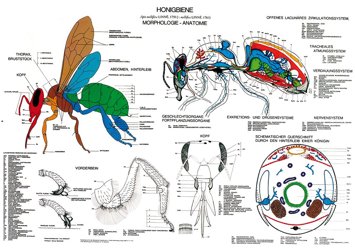 Holtermann Imker-Shop - Lehrtafel - Anatomie der Honigbiene
