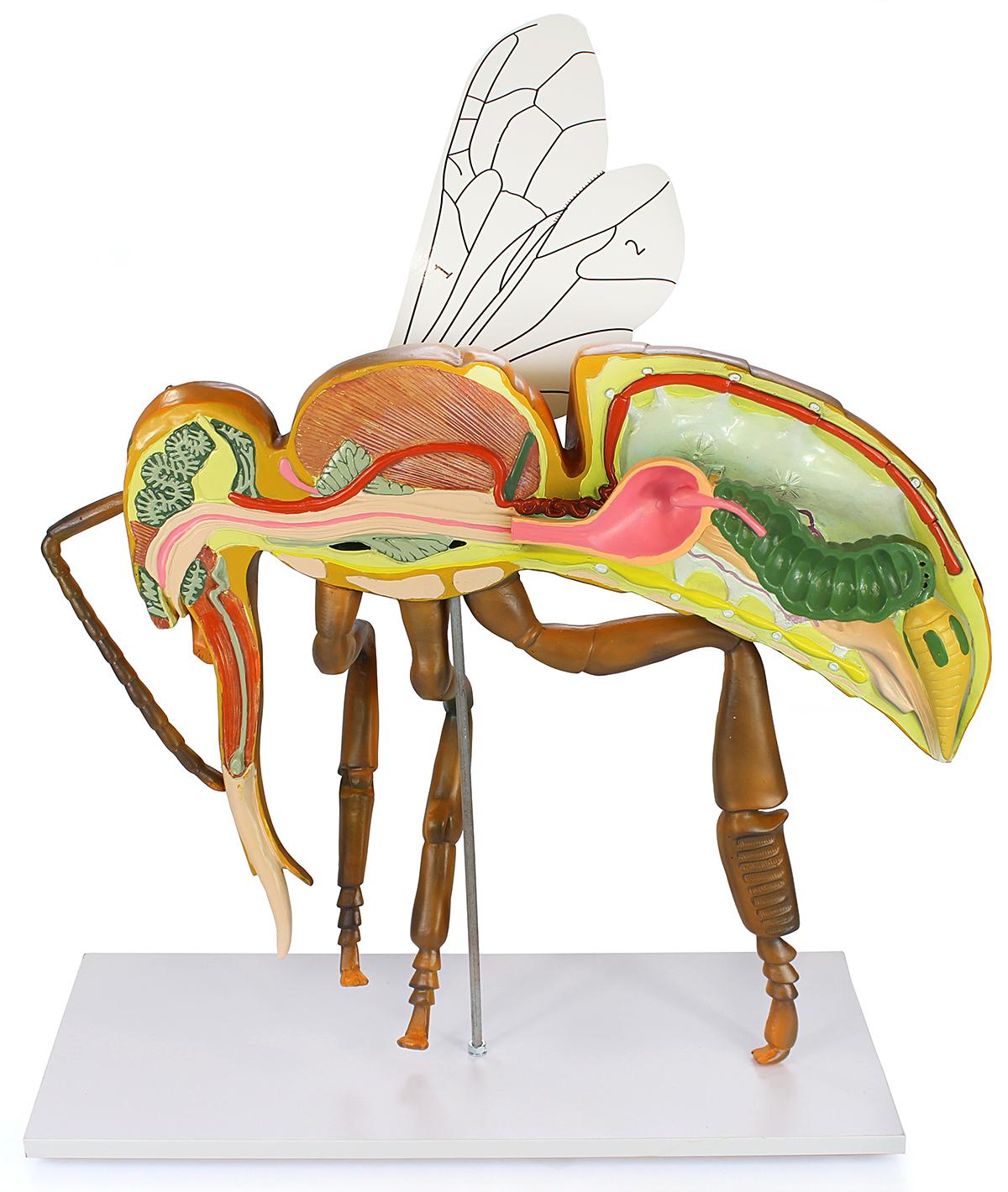 Holtermann Imker-Shop - Modell Anatomie der Honigbiene